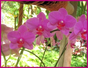 More Pink Orchids 2
